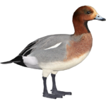 Eurasian Wigeon (Lolzon)