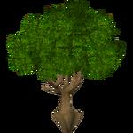 Cashew Tree (Holden)