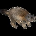 Alpine Marmot (Ulquiorra)