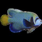 Emperor Angelfish (Thom)