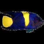 Arabian Angelfish (Whalebite)/Version 1