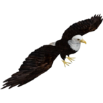 Bald Eagle (Dacentru & Maks)
