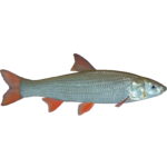 Common Nase (PaJaS30)