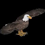 Bald Eagle (JimmyzHoopz)