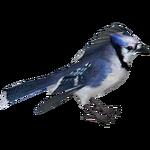 Blue Jay (HENDRIX)