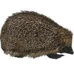 European Hedgehog (HENDRIX)