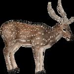 Axis Deer (ZTABC Team)