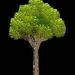 Guava Tree (Holden)