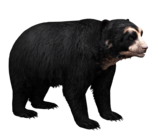 Spectacled Bear (Aurora Designs)