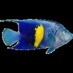 Arabian Angelfish (Whalebite)