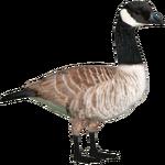 Canada Goose (Ulquiorra)
