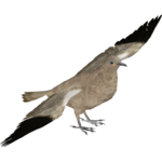 Black-winged Ground Dove (Maximilian & Samuel)