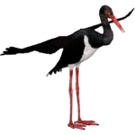 Black Stork (aquila)