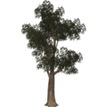 Eucalyptus Trees (Thom)
