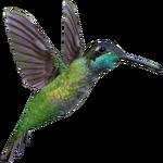Ambient Magnificent Hummingbird (Whalebite)