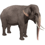 Asian Elephant (Aurora Designs)
