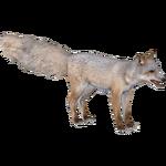 Corsac Fox (Austroraptor)