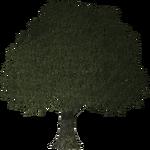 Oak Tree (Thom)