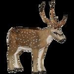 Axis Deer (Jannick)