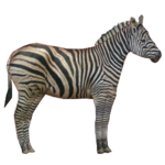 Chapman's Zebra (Robert)