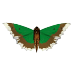 Ambient Sumatran Nettletree Butterfly (Tamara Henson)