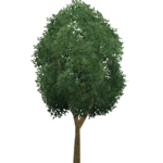 Schima Tree (Aurora Designs)