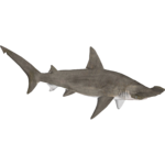 Scalloped Hammerhead (Demon Hunter)