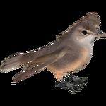 Basra Reed Warbler (Whalebite)