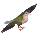 Common Emerald Dove (Deinonychus 110, Manuel & Samuel)
