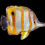 Copperband Butterflyfish (DutchDesigns)