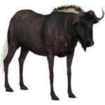 Black Wildebeest (slice)