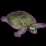 Arrau Turtle (Flish)