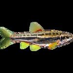 Chrosomus oreas (Brzoza)
