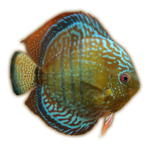 Alenquer Discus (JimmyzHoopz)