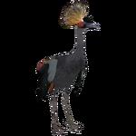 Black Crowned Crane (Scott)
