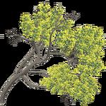 Subantarctic Tree Daisy (Whalebite)