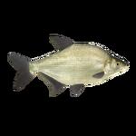 Common Bream (PaJaS30)