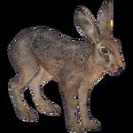 European Hare (HENDRIX)