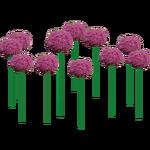 Allium (Hugo7)