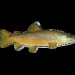 Brown Trout (PaJaS30)
