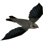Cave Swiftlet (Whalebite)
