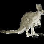 Eastern Grey Kangaroo (Tamara Henson)