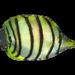 Eightband Butterflyfish (Dycki1231)
