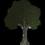 Plane Tree (Thom)