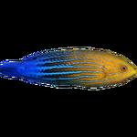 Feminus Wrasse (Whalebite)