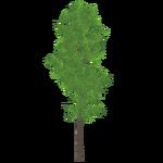 Poplar (Thom)