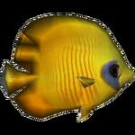 Blue Cheek Butterflyfish (Whalebite)