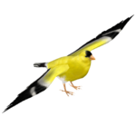 American Goldfinch (Tamara Henson)