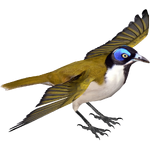 Blue-faced Honeyeater (MiBound)
