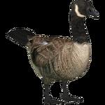 Canadian Goose (Tamara Henson)